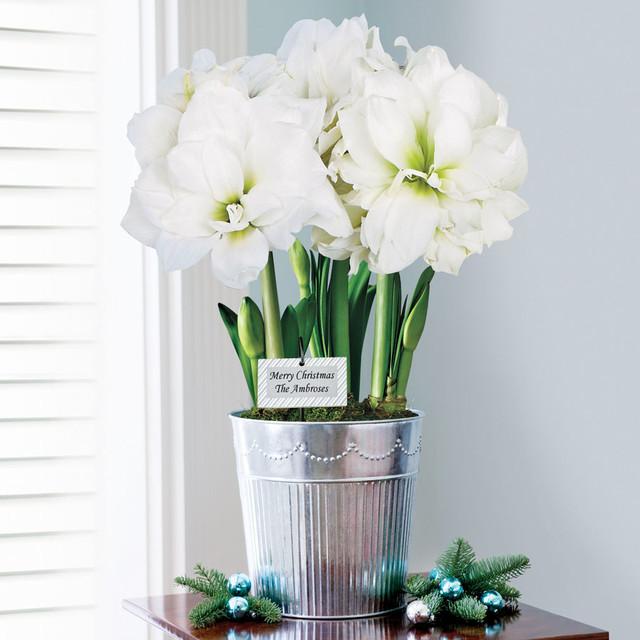 3 in 1 grand trumpet double ruffle white amaryllis for Amaryllis christmas decoration