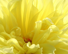 Yellow Dahlia Burst by Ben and Raisa Gertsberg - canvas art, art print, giclee contemporary-artwork