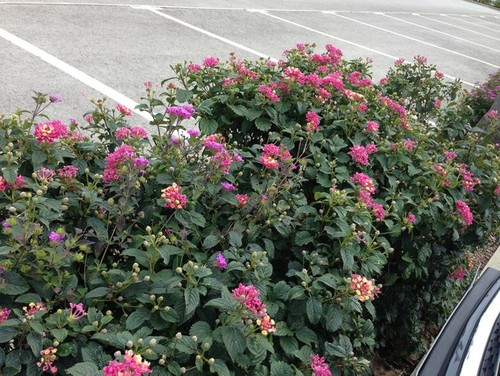 how to grow lantana from cuttings