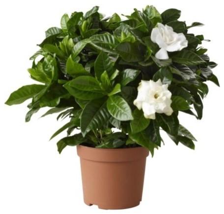Gardenia Jasminoides Potted Plant modern-plants
