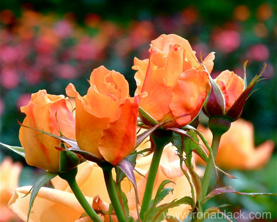 Rose Bunch Fine Art Photograph by Rona Black -