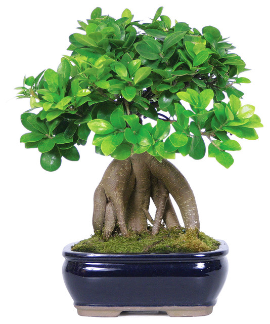 ginseng grafted ficus bonsai tree asian plants by. Black Bedroom Furniture Sets. Home Design Ideas
