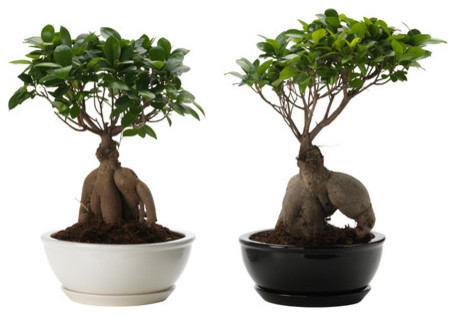 ficus microcarpa ginseng plant with pot contemporary plants by ikea. Black Bedroom Furniture Sets. Home Design Ideas