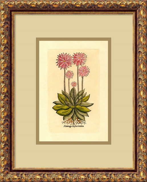 Plantago (Rosea Exotica) Framed Print traditional-prints-and-posters