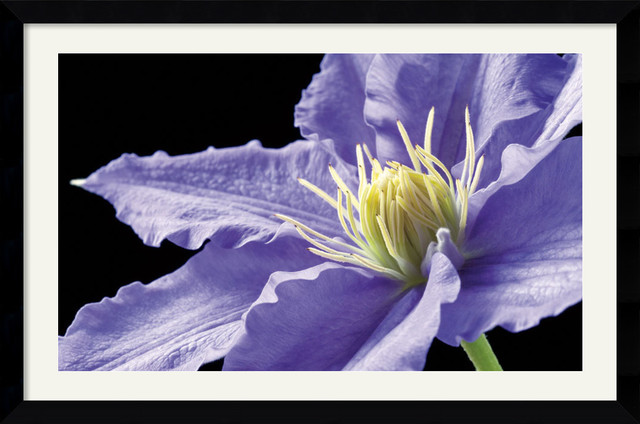 Purple Clematis Framed Print by Amalia Veralli traditional-prints-and-posters