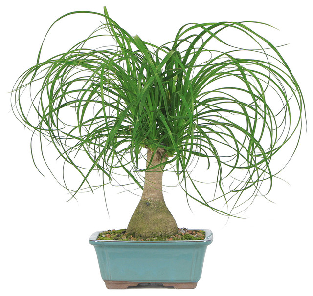 Ponytail Palm Bonsai Tree  Asian  Plants  by Brussel39;s Bonsai