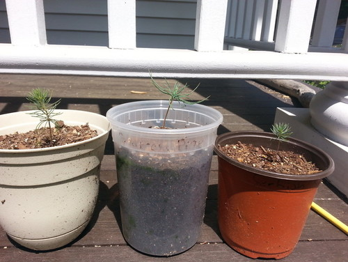 Picea Abies Seed Germination