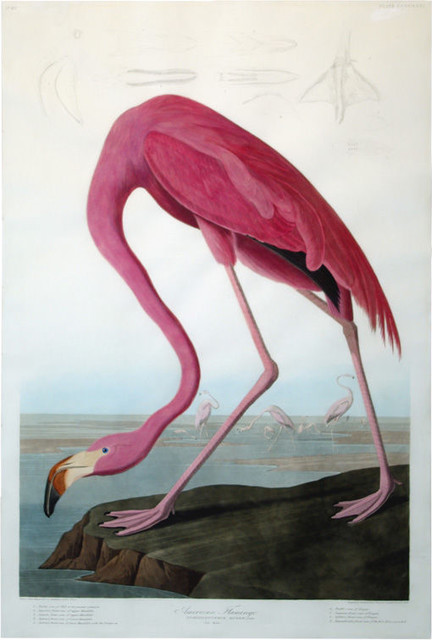John James Audubons American Flamingo eclectic artwork