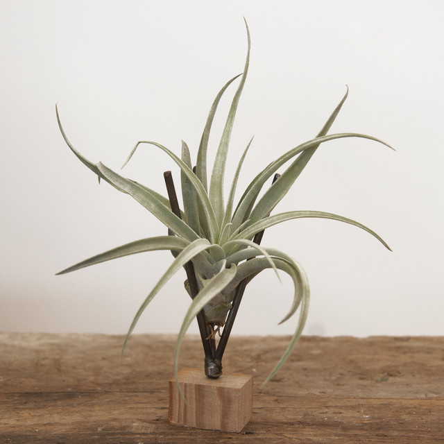 Thigmotrope Satellite with Air Plant modern plants