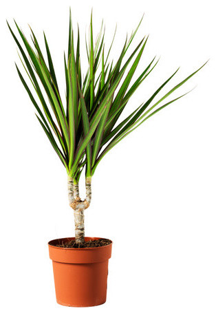 DRACAENA MARGINATA Potted plant modern plants
