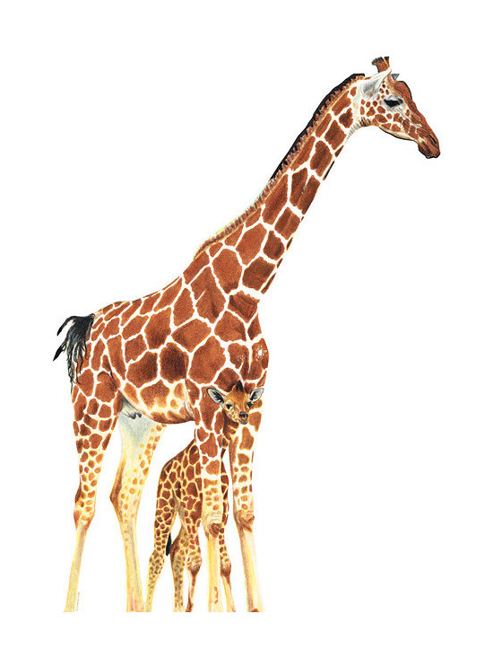 Animals, Fish and Birds - Animal Prints - Giraffe Art - A Mother's Love - By Sharon Cummings