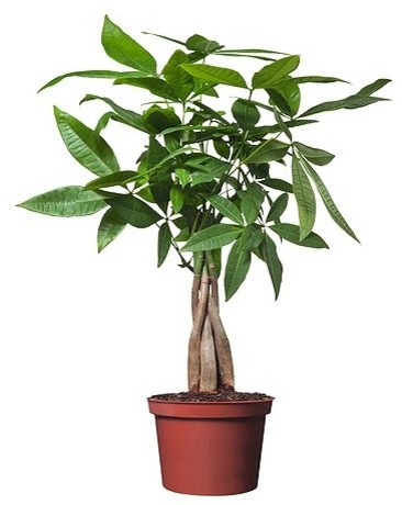 Pachira aquatica potted plant contemporary plants by for Indoor decorative live plants