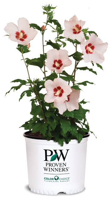 Blush satin rose of sharon hibiscus eclectic plants for Indoor decorative live plants