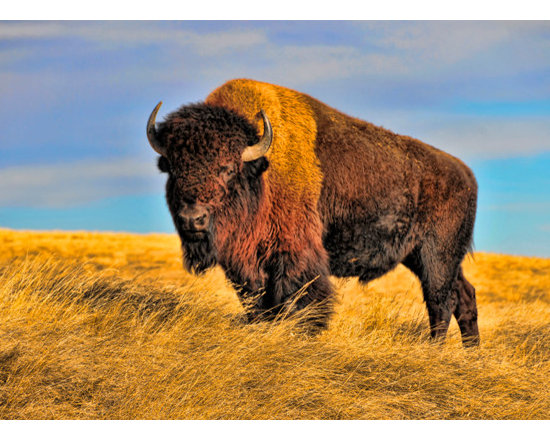"""Range Rover"" - Metal print, canvas print, fine art print - Bison at Bear Butte, South Dakota"