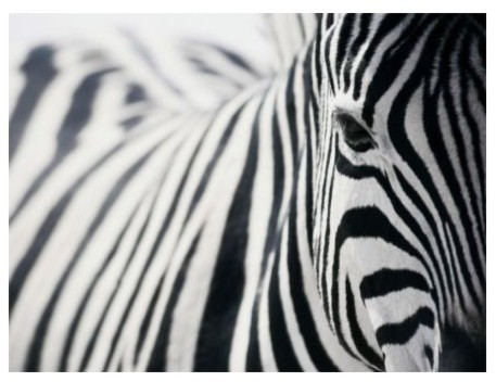 Pjätteryd Picture, Zebra contemporary-prints-and-posters