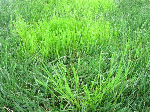 Help with grassy bright green weed for Fast growing tall grass