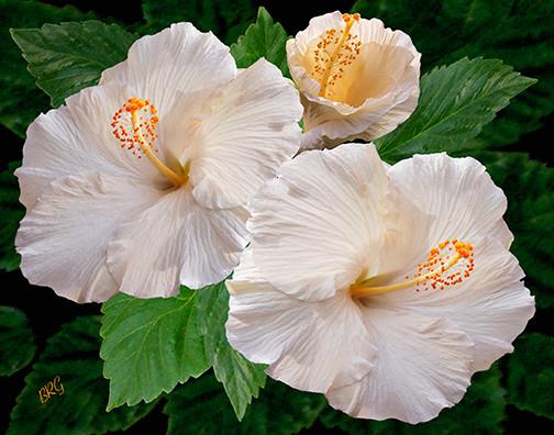 Dreamy Blooms - White Hibiscusby Ben and Raisa Gertsberg - canvas art, art print tropical-artwork