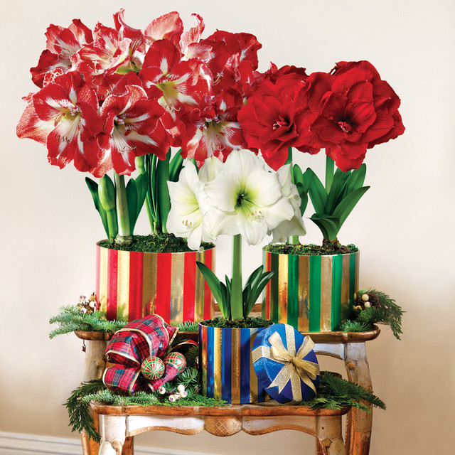 Tower of blooms amaryllis gift christmas decorations for Amaryllis christmas decoration