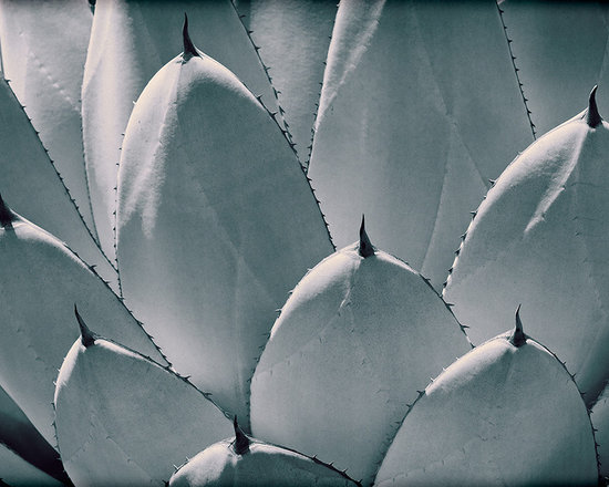 Vintage Photography - Agave Parryi leaves up close to make a graphic image. All original photo with the vintage look of film. This is a black and white image with a tint and film grain. Also framed by a vignette for effect.
