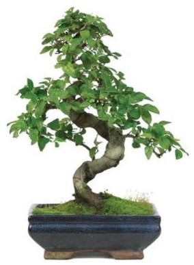 7 year Chinese Ligustrum Outdoor Bonsai Tree plants