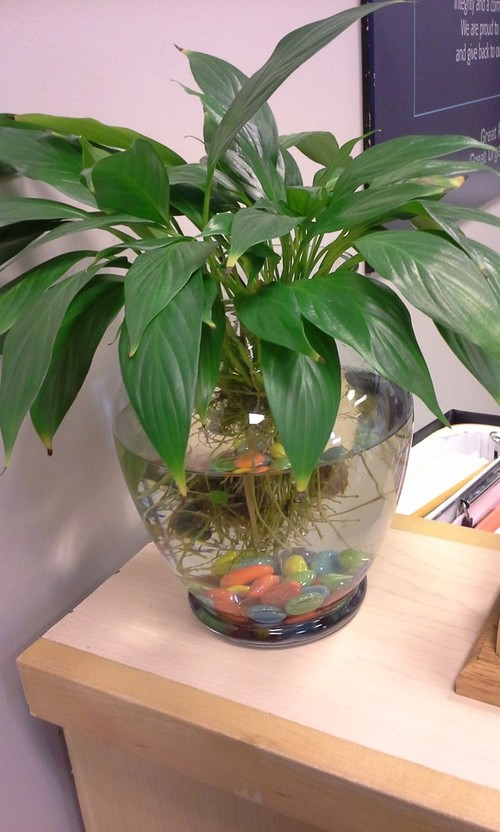 Plants that grow with roots in water for Growing plants in water with fish