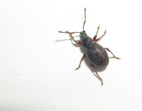 how to get rid of black vine weevil in house