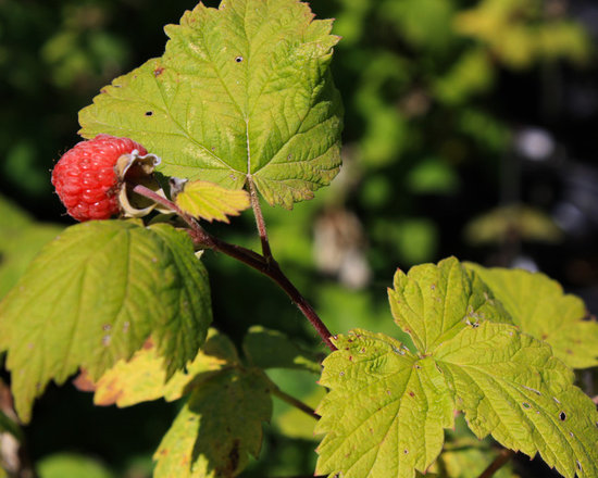 Wild Red Raspberry - Not So Hollow Farm
