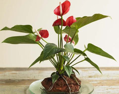 Anthurium Hawaiian Volcano Plant traditional plants