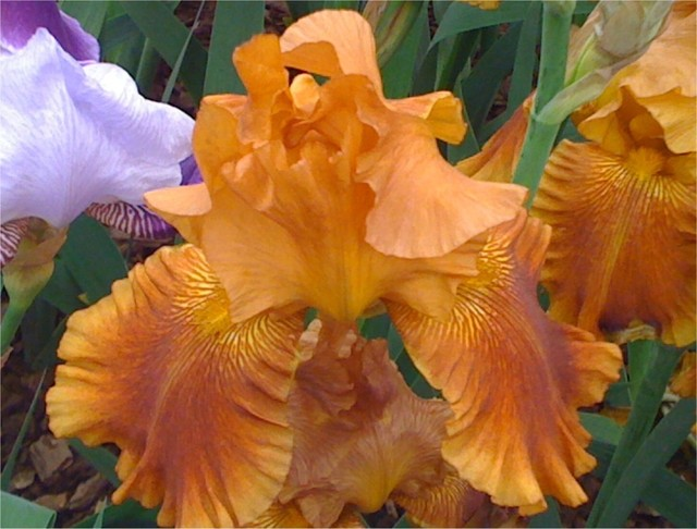 traditional  Bearded Iris Chelsea Flower Show 2010