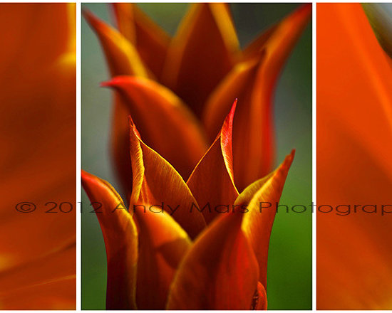 Tulips Triptych - Tulip Triptych © Andy Mars Photography