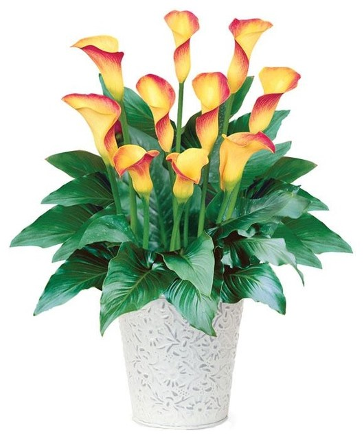 Calla Flame traditional plants