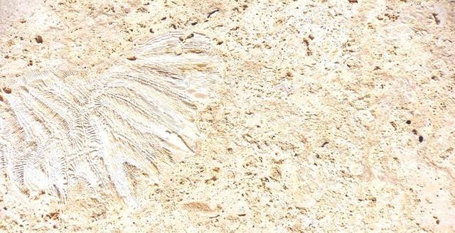 Calypso Coral Dominican Coral Stone Material In Stock