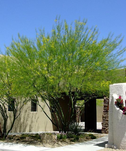 Great Design Plant Desert Museum Palo Verde