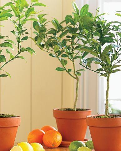 Blood Orange Tree traditional-plants