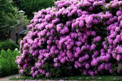 rhododendron | Greg Miller Birding