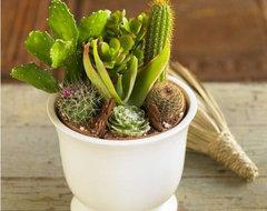 Classic Cactus Garden contemporary-plants