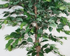 Green Ficus Tree contemporary-plants