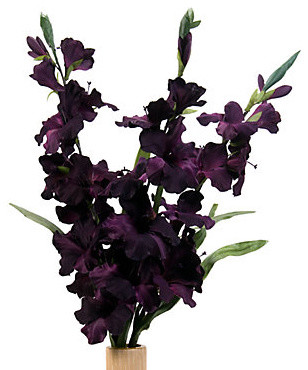 Gladiola - Aubergine Set of 3 modern plants