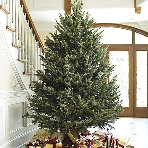Real Fresh-cut Fraser Fir Christmas Trees - 8-1/2'-9' traditional-holiday-decorations