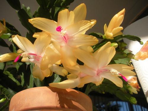 Yellow Christmas Cactus
