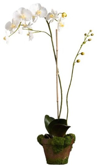 Potted Phaelanopsis White Orchid modern-plants