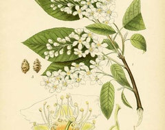 Antique 1905 Botanical Image Prunus Padus by Words and Melodies traditional-artwork
