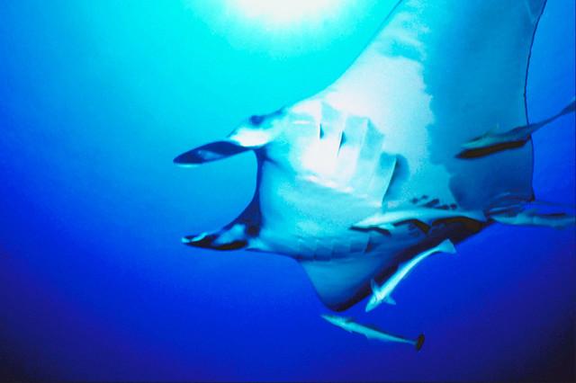 Stingray in the Sea Canvas Wall Art modern-artwork