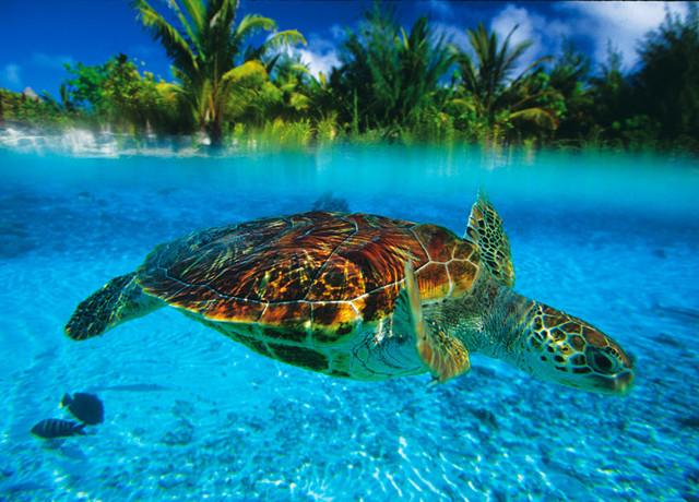 Tortoise in bora bora lagoon wall art tropical for Bora bora wall mural
