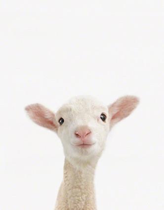 Lamb Close-Up eclectic-artwork