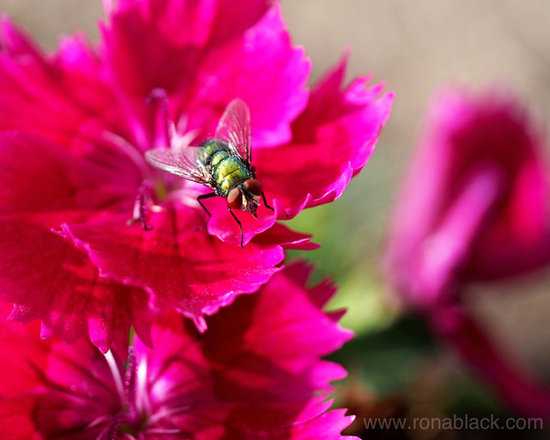 Green Bottle Fly on Dianthus -