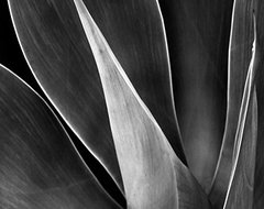 Agave No 3 - modern art, contemporary art, art print, wall art, black and white contemporary-artwork