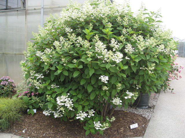 Quick fire hardy hydrangea eclectic plants chicago for Indoor decorative live plants