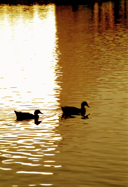 Ducks on Golden Pond artwork