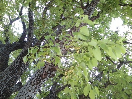 Shade tree with small yellow flowers in north texas for Best small shade trees